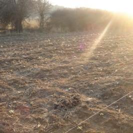 Νεοφυτεμένα φυτά τσαγιού (Sideritis scardica) στο αγρόκτημα μας στην Καρυά Ολύμπου 2