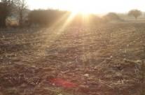 Νεοφυτεμένα φυτά τσαγιού (Sideritis scardica) στο αγρόκτημα μας στην Καρυά Ολύμπου 3